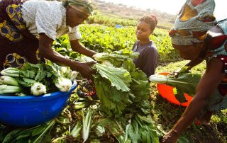 A woman purchasing cabbage from a farmer in a vegetable field in Lubumbashi, Democratic Republic of the Congo. Photo: FAO/Olivier Asselin