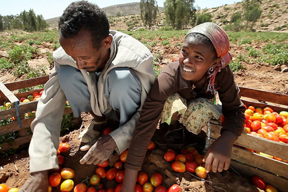 Farmers sort tomatoes in the Horn of African country Ethiopia. Photo: World Bank/Stephan Bachenheimer