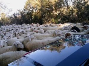 Verkehrshindernis auf Italienisch - Schafe