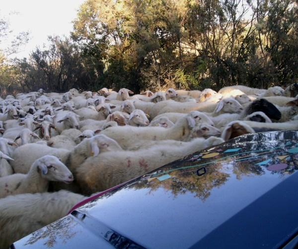 Achtung Schafe