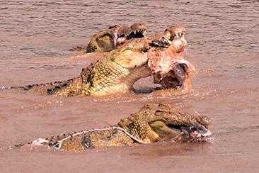 Safari por Masai Mara cocodrilos comiendo ñus