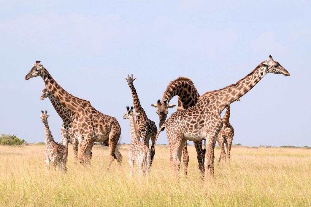 Safari por Masai Mara jirafas