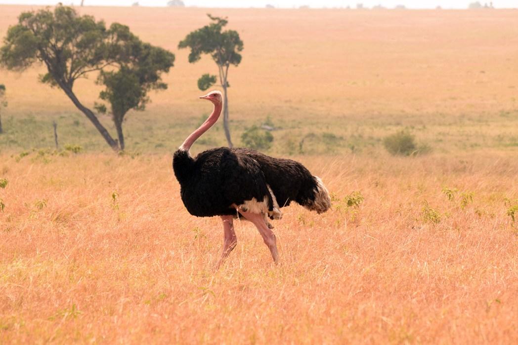 Safari por Masai Mara avestruz