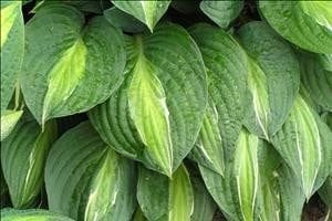 Striptease  Hosta - Uniquely Hostas
