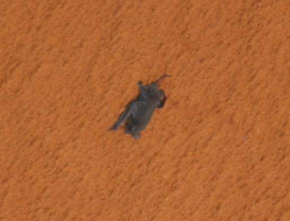The injured Free-tailed bat clings onto Discovery's external fuel tank on Sunday (NASA)