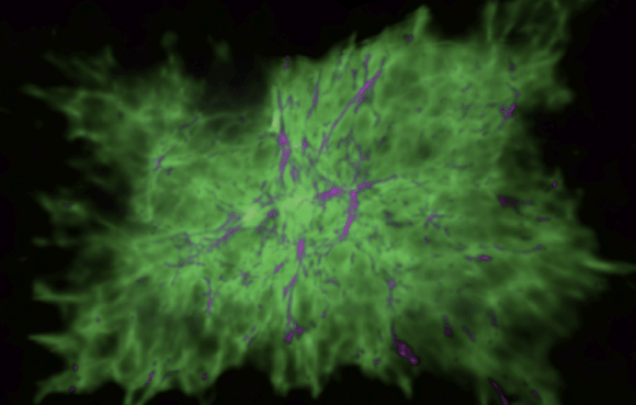 A simulated dwarf galaxy when the universe was 0.5 billion years old. Magenta represents cool gas, green is warm ionized gas, and red is hot gas. Check out the movie. Image credit: Hopkins et al. 2013.