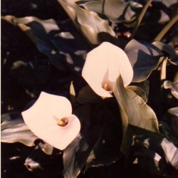 calla-lillies