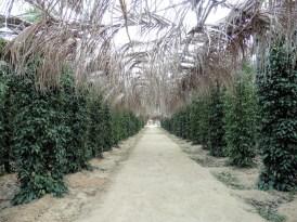 Plantación de pimienta, Kampot
