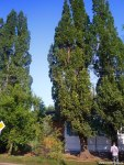 дуб Старожил (3 дерева)