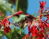 Hummingbird3(Web)