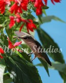 Hummingbird4(Web)
