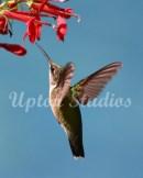 Hummingbird7(Web)