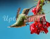 Hummingbird9(Web)