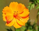 OrangeAster2(Web)