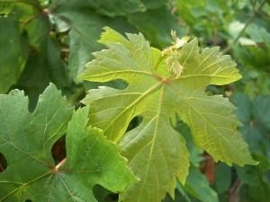 Brining grape leaves
