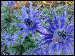 Sea Holly dries well and has an interesting shape to it.