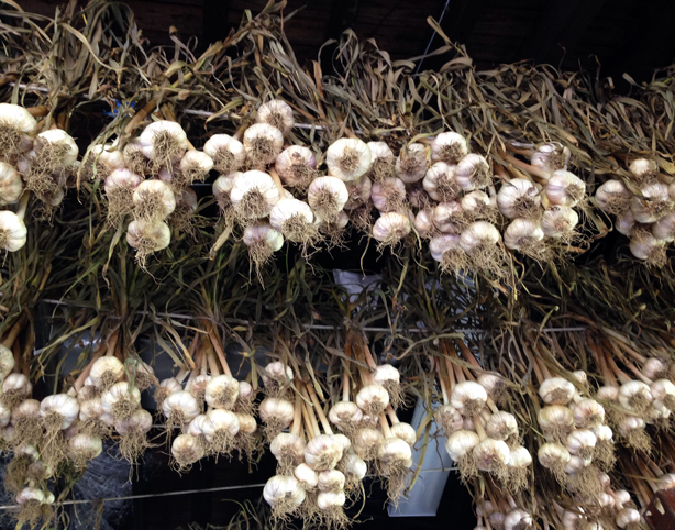 stone-barns-garlic-drying-urbangardensweb