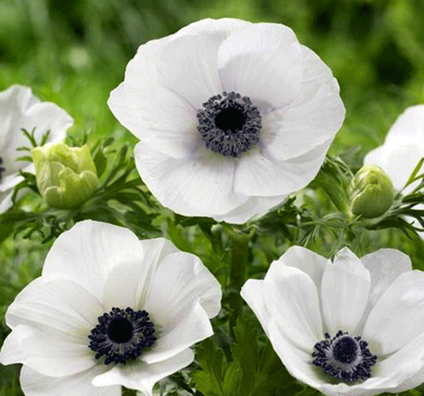 Anemone-Black-Eyed-Beauty-Flower