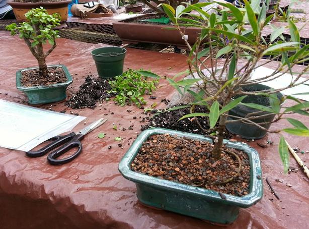 bonsai-101-materials-planting