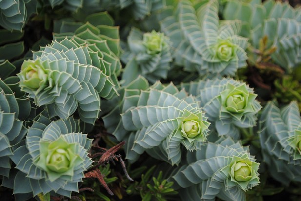 REVIEW form Donkey Tail Spurge