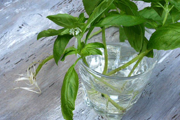 Kids-hydroponic-science-project-growing-roots-in-water-glass