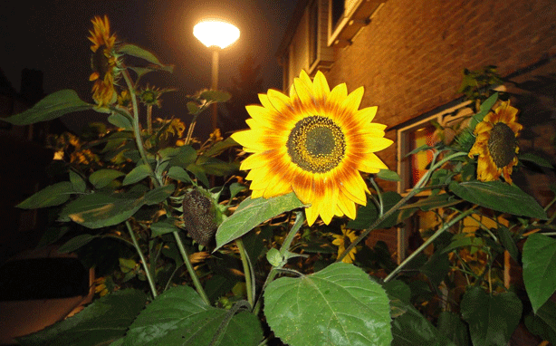 jonna-rotterdam-quacker-international-sunflower-day-guerrilla-gardening