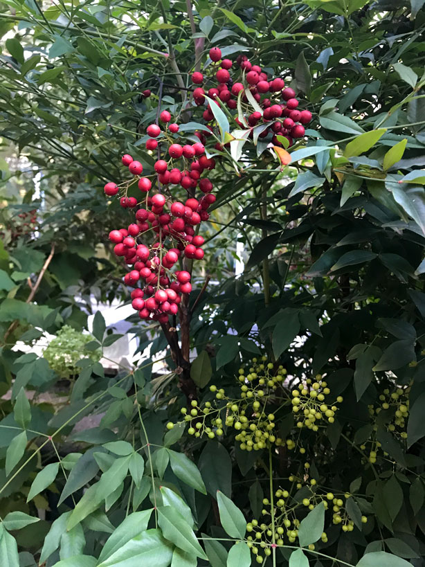 red_berries_London_secret_garden_urbangardensweb