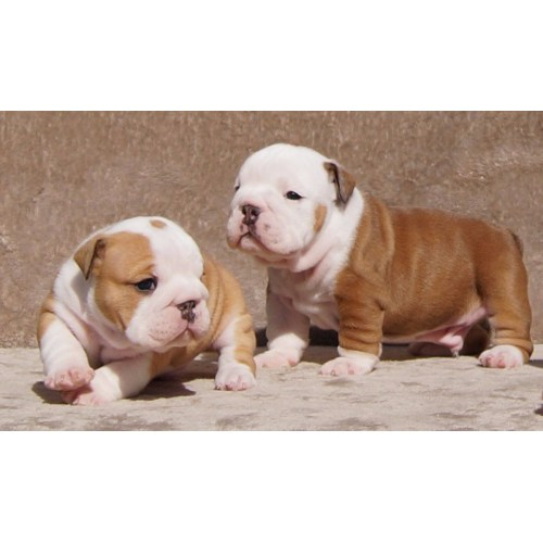 Medium Crop Of English Bulldog Price