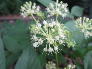 Aralia californica (western spikenard, elk clover) section E