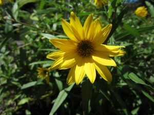 Helianthus nuttallii (Nuttall's sunflower) section A