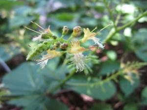 Collinsonia canadensis (horse balm) section E