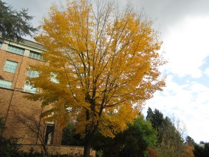 Acer saccharum (sugar maple) north of section B