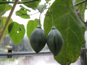 Still green, two weeks later but they will ripen...they must ripen.
