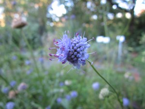 Devil's bit scabious (Succisia pratensis) in section A. It's a recent addition to the garden and is flowering for the first time.