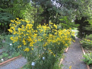 Tall tickseed (Coreopsis tripteris) in section E. The rain had it splayed out on the ground when I got to work on Monday, so I retied the twine. It's over six feet tall.