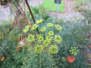 Even the asafoetida (Ferula asafoetida) is springing back into action with new flowers.
