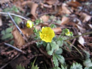 Slender cinquefoil (Potentilla gracilis) normally flowers in early summer. This did and...yes, you guessed it, it's flowering again in late October.