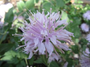 It's easy to walk past wild bergamot (Monarda fistulosa). Its pale pink flowers aren't as showy as scarlet beebalm (Monarda didyma), but it's worth inspecting more closely the things we take for granted. The flowers have a subtle beauty up close.