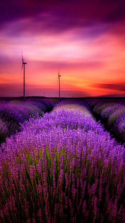 Lavender Field HD Mobile Wallpaper - Vactual Papers