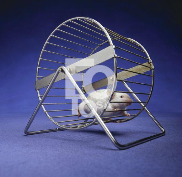 lab-rat-spinning-wheel