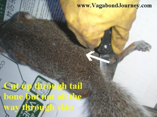 Cut through tail bone but not all the way through the skin on the other side