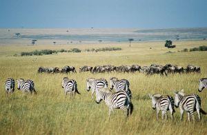 zebras in migration