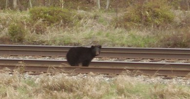 a down and out bear on the railroad tracks