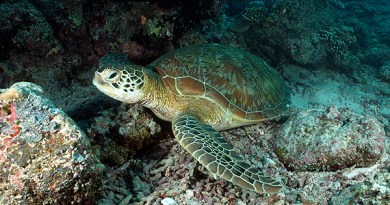 Green Turtle - Siampan
