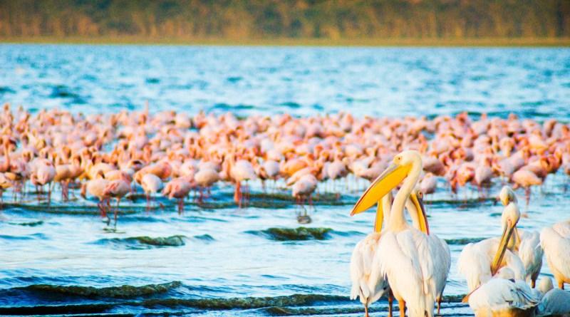 flamingos pelican