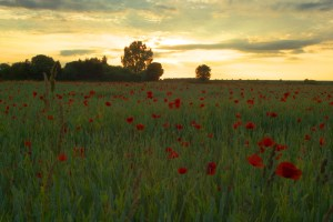 poppies_sunset_small