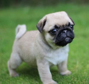 Sassy pug