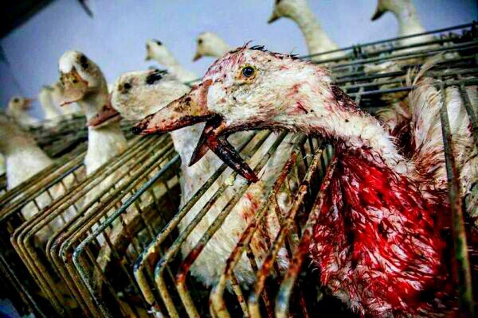 Gänsestopfleber- Die leckere Delikatesse! oder besser:  Gänsestopfleber - Das kranke Organ eines zu Tode gefolterten Lebewesens