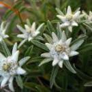edelweiss-1