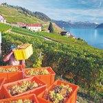 Switzerland, Grape harvesting in Lavaux